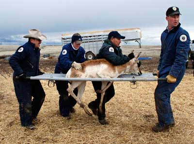 Archive news department captures relocates 277 pronghorn for New mexico department of game and fish