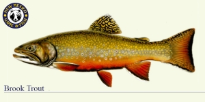 Brook Trout Cold Water Fish Illustration - New Mexico Game & Fish