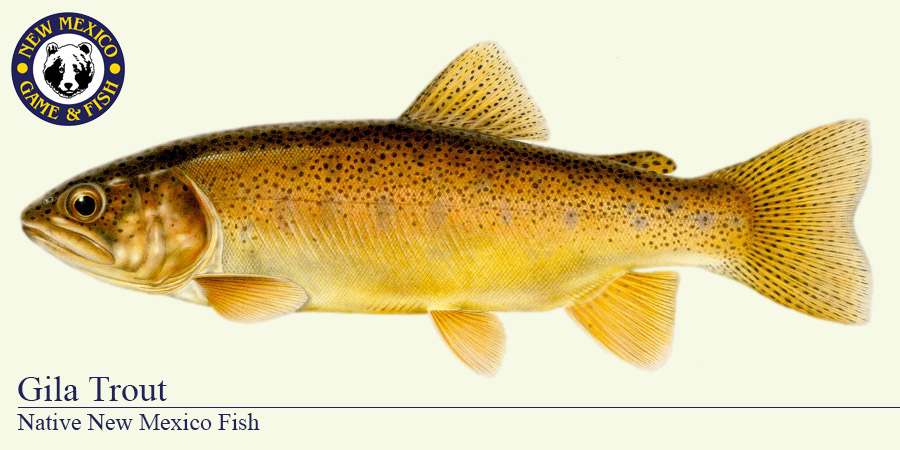 Golden trout drawing images galleries for New mexico department of game and fish