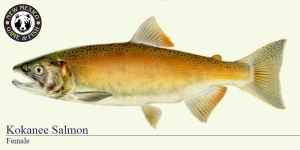 Kokanee Salmon (Female) Cold Water Fish Illustration - New Mexico Game & Fish