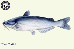 Blue Catfish, Warm Water Fish Illustration - New Mexico Game & Fish