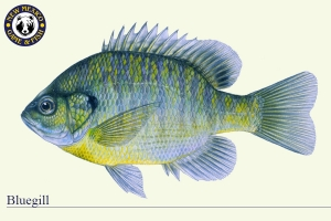 Bluegill, Warm Water Fish Illustration - New Mexico Game & Fish