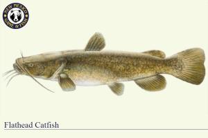 Flathead Catfish, Warm Water Fish Illustration - New Mexico Game & Fish