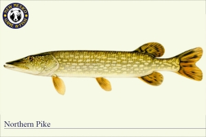 Northern Pike, Warm Water Fish Illustration - New Mexico Game & Fish