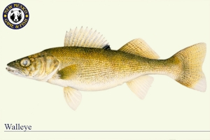 Walleye, Warm Water Fish Illustration - New Mexico Game & Fish