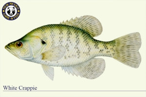 White Crappie, Warm Water Fish Illustration - New Mexico Game & Fish