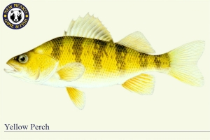 Yellow Perch, Warm Water Fish Illustration - New Mexico Game & Fish