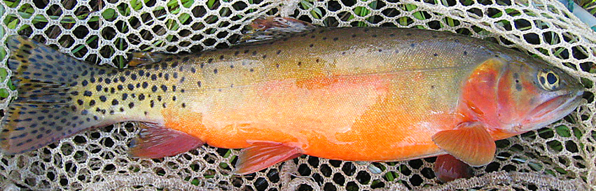 Rio Grande Cutthroat Trout in a net - New Mexico Game & Fish, Native New Mexico Fish page