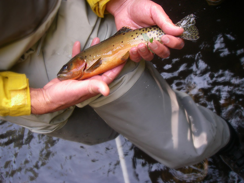 Rio grande cutthroat trout no longer an endangered species for New mexico state fish