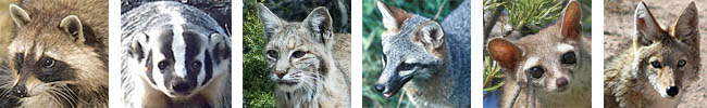 Protected furbearers that may be taken during open season are raccoon, badger, weasel, fox, ringtail, bobcat, muskrat, beaver and nutria. (Unprotected furbearers include coyote and skunk).