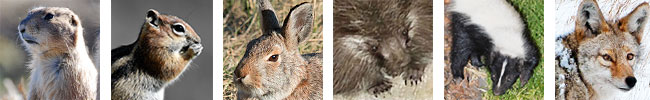 New Mexico's nongame species include prairie dogs, ground squirrels, and rabbits. Coyotes and skunks are unprotected furbearers. Feral hogs are an unprotected species.