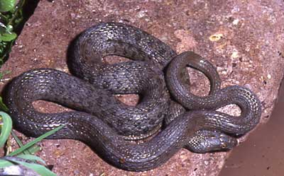 Narrow-headed Gartersnake and New Mexico Game & Fish conservation of amphibians and reptiles