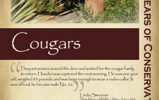 Protecting cougar as game animals, 1970s - New Mexico Game & Fish Century of Conservation