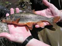 Headwater Chub and fish conservation - New Mexico Game and Fish