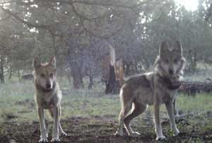 Mexican Gray Wolves in the Gila National Forest.