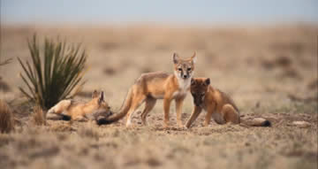 Desert Foxes- Conservation page New Mexico Game & Fish