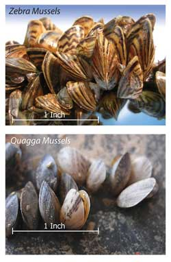 Zebra Mussels and Quagga Mussels - Invasive Species in North American waters