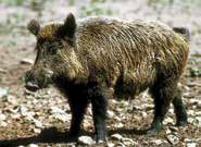 hunting-big-game-feral-hog-NMDGF-New-Mexico