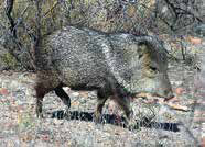 hunting-big-game-javelina-NMDGF-New-Mexico