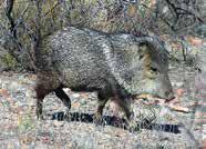 hunting-big-game-javelina-NMDGF-New-Mexico