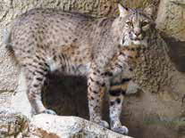 New Mexico furbearer protected species, the Bobcat.