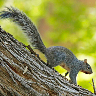 Arizona gray squirrel in tree, New Mexico hunting, upland game - photo by M.L. Watson (NM Department of Game and Fish)