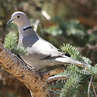 Eurasian collared-dove New Mexico hunting upland game bird- photo by J.N. Stuart (NM Department of Game and Fish)