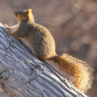 Fox squirrel in tree, New Mexico hunting, upland game - photo by J.N.Stuart (NM Department of Game and Fish)