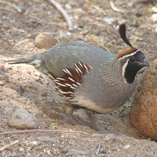 Gambel's quail New Mexico hunting upland game bird - photo by J.N. Stuart (NM Department of Game and Fish)