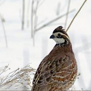 Northern bobwhite quail New Mexico hunting upland game bird - photo by Kansas Department of Wildlife and Parks
