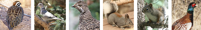 Upland Game: Species include dusky (blue) grouse, Eurasian collared-dove, quail (bobwhite, Gambel's, Montezuma, and scaled), pheasant and squirrel (Abert's, red, gray and fox). Photos by M. L. Watson and J.N. Stuart (New Mexico Department of Game and Fish)