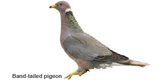 Band-tailed pigeon (New Mexico Department of Game and Fish)