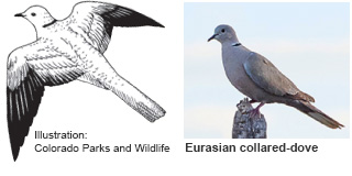 Eurasian collared-dove identification illustration (CO Parks & Wildlife) and photo (New Mexico Department of Game and Fish)