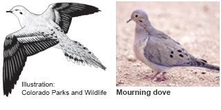 Mourning dove identification illustration (CO Parks & Wildlife) and photo (New Mexico Department of Game and Fish)