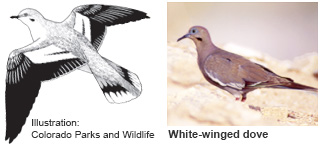 White-winged dove identification illustration (CO Parks & Wildlife) and photo (New Mexico Department of Game and Fish)