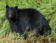 New Mexico black bear photo
