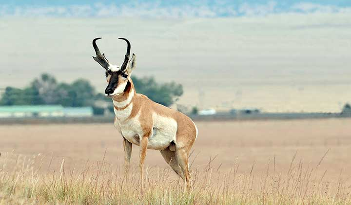 NMDGF uses the A-PLUS Program to manage pronghorn antelope hunts on New Mexico private lands..