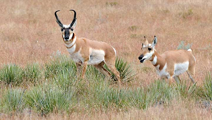 NMDGF uses the A-PLUS program to manage pronghorn antelope hunts on New Mexico private lands.