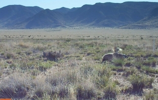 Burrowing owl pouncing on a badger. (Dr. Ana Davidson) Share with Wildlife Project Highlight