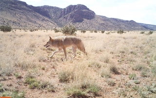 Coyote on a prairie dog colony at the Sevilleta National Wildlife Refuge. (Dr. Ana Davidson). Share with Wildlife Project Highlight