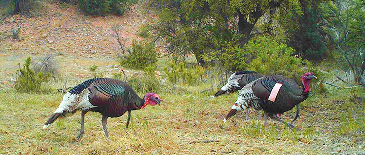 Gould's wild turkey hunting in New Mexico. (Photo by Ted Jaycox)