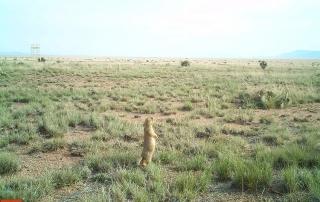 Prairie dog at the Sevilleta National Wildlife Refuge. (Dr. Ana Davidson). Share with Wildlife Project Highlight