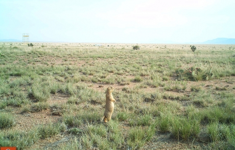 Prairie dog at the Sevilleta National Wildlife Refuge. (Dr. Ana Davidson). Share with Wildlife Project Highlight