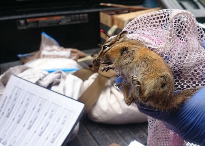 Share with Wildlife – Project Highlight: Surveying for Rare Chipmunks