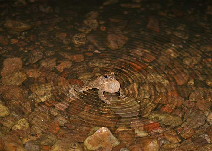 Project Highlight: Give the Toads a Brake (Share with Wildlife, New Mexico Department of Game and Fish)