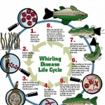 Whirling Disease Life Cycle