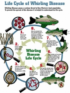 Whirling Disease Life Cycle from New Mexico  Wildlife Curriculum lesson Aquatic Aliens.