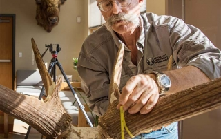 Eric M. Rominger, PhD, Bighorn Sheep Biologist and official Boone and Crockett Club Measurer scores bull harvested during the 2015-2016 season in GMU 15 New Mexico.
