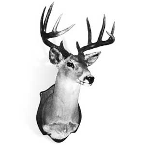 New Mexico record Coues whitetail deer, taken by Victor P. Giacoletti, Jr. in Grant County, 1981. (Photograph courtesy of the Boone and Crockett Club)