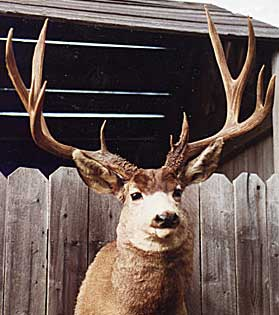 New Mexico's #2 typical mule deer, taken by Joseph A. Garcia in Rio Arriba County, 1965. (Photograph courtesy of the Boone and Crockett Club)